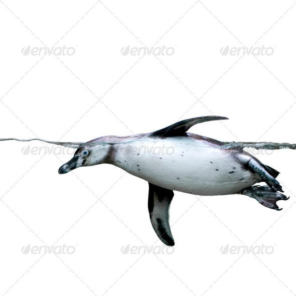 penguin - Stock Photo - Images