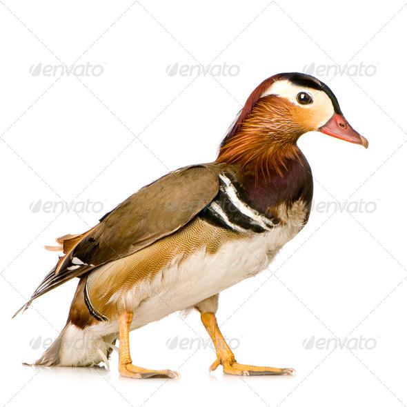 Mandarin Duck - Stock Photo - Images