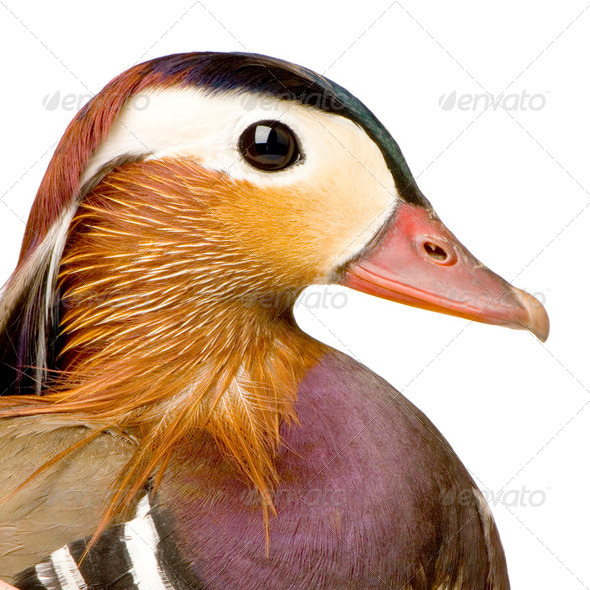 Mandarin Duck - Stock Photo - Images