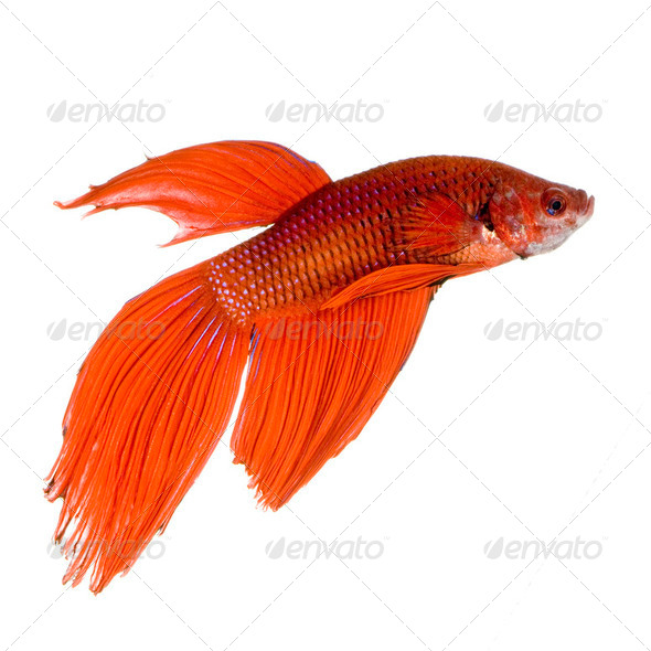 Siamese fighting fish - Stock Photo - Images