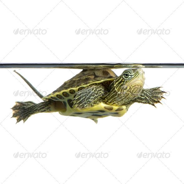 Turtle - OCADIA SINENSIS - Stock Photo - Images