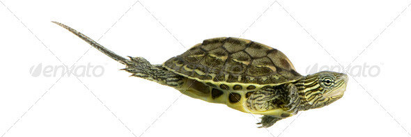 Turtle - OCADIA SINENSIS - Stock Photo - Images