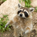 Raccoon - PhotoDune Item for Sale