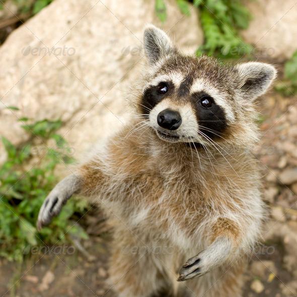 Raccoon - Stock Photo - Images