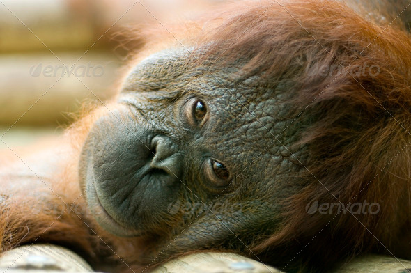 Orang-utan lying down - Stock Photo - Images