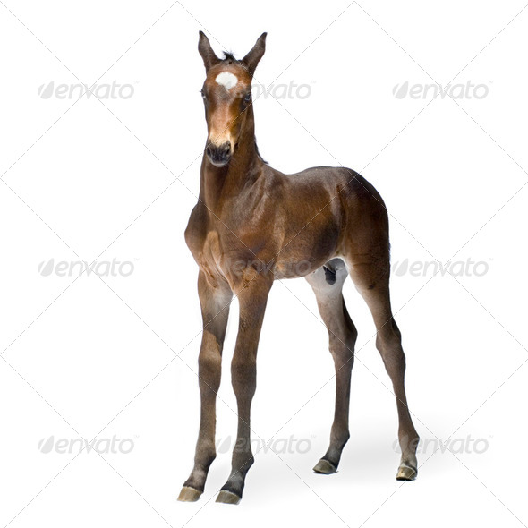 Foal (12 days) - Stock Photo - Images