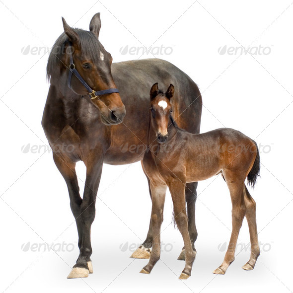 Mare with her Foal (12 days) - Stock Photo - Images