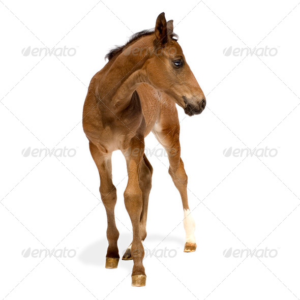 Foal - Stock Photo - Images