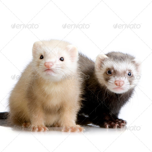 two Ferrets kits (10 weeks) - Stock Photo - Images