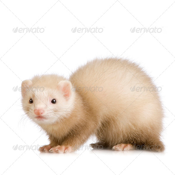 blue male Ferret kit (10 weeks) - Stock Photo - Images
