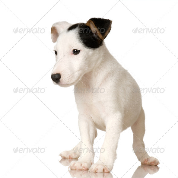 puppy Jack russel - Stock Photo - Images