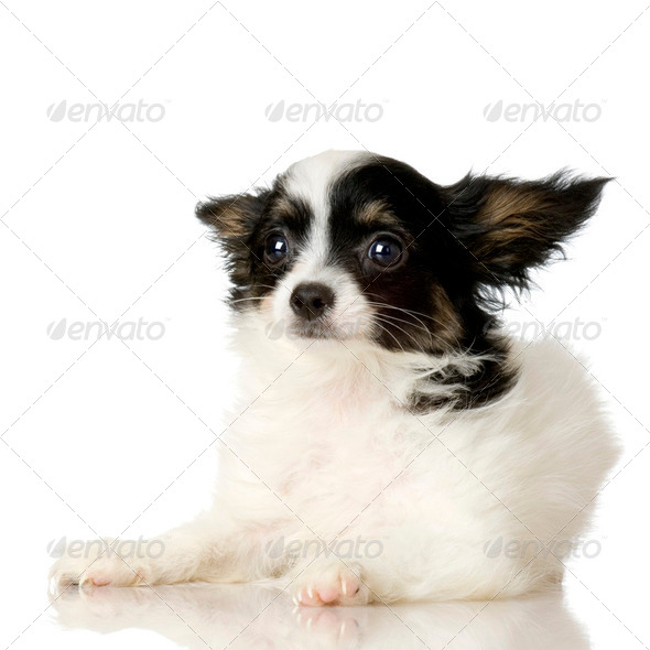Papillon - Stock Photo - Images