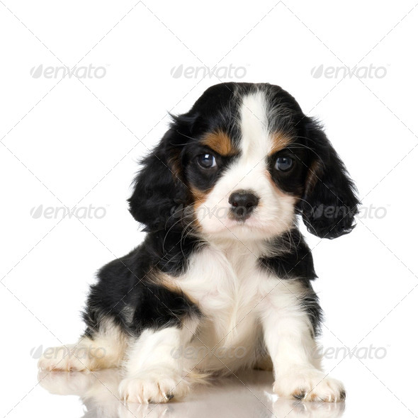 Cavalier King Charles Spaniel puppy - Stock Photo - Images