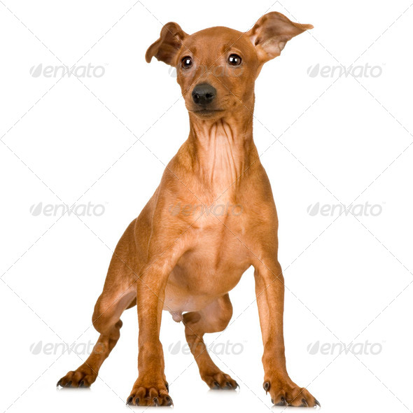 Pinscher - Stock Photo - Images