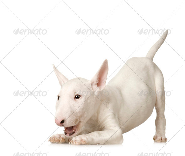 Bull Terrier - Stock Photo - Images