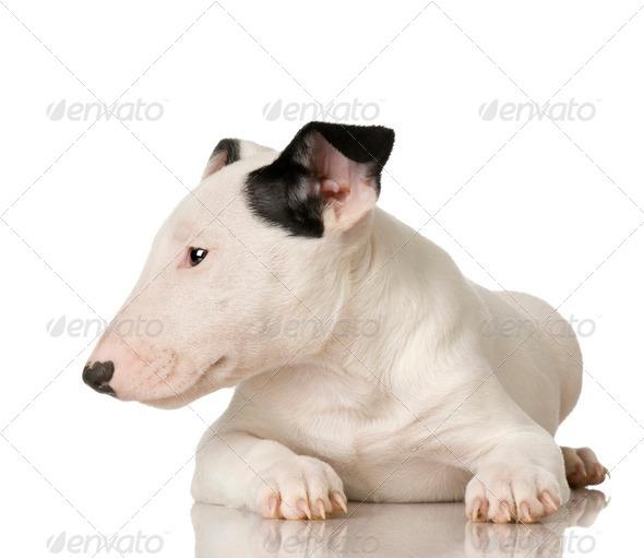 Bull Terrier - Stock Photo - Images