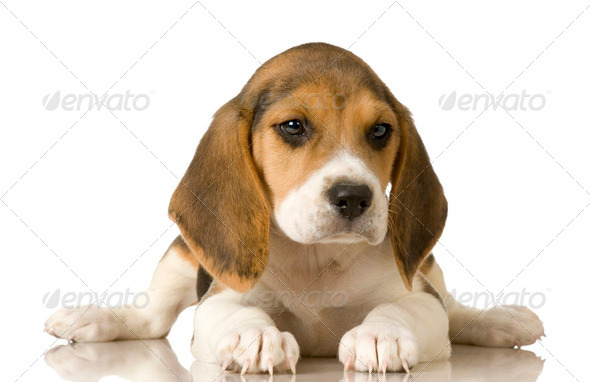 Beagle - Stock Photo - Images