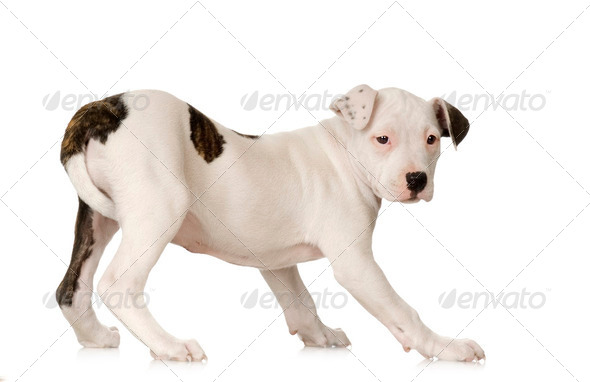 American Staffordshire terrier - Stock Photo - Images