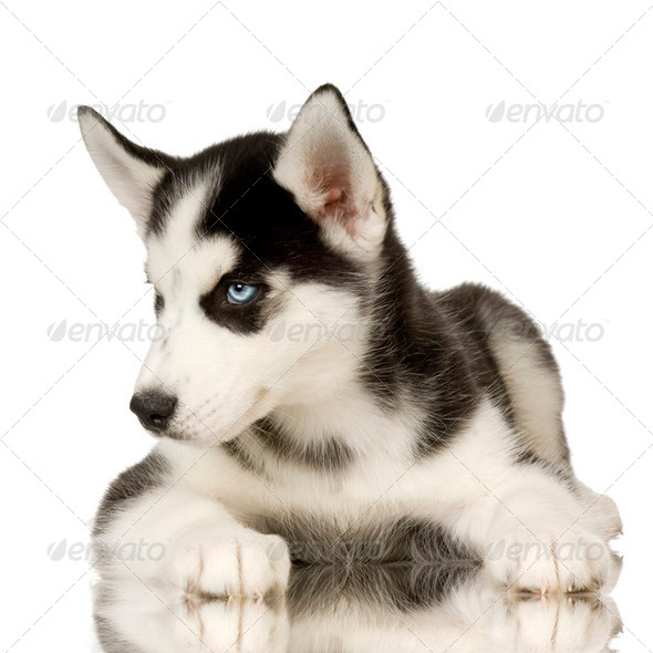 Siberian Husky - Stock Photo - Images