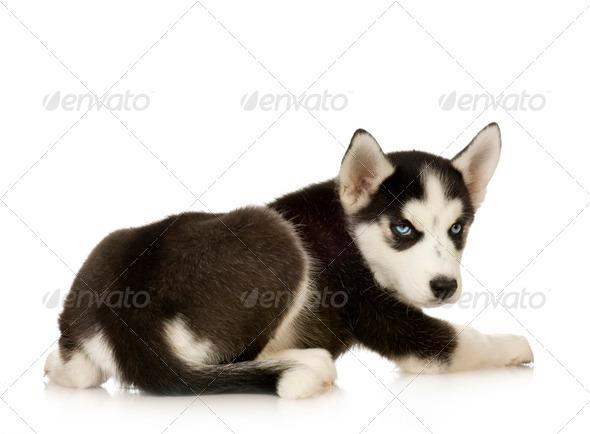 Siberian Husky - Stock Photo - Images