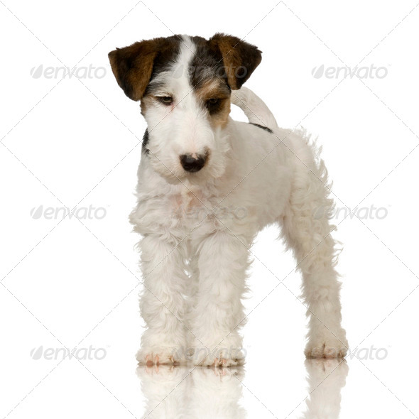 Fox terrier - Stock Photo - Images