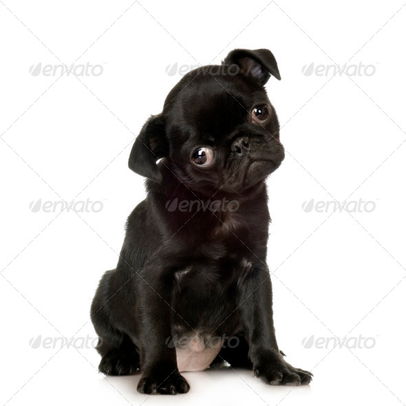 Pug - Stock Photo - Images
