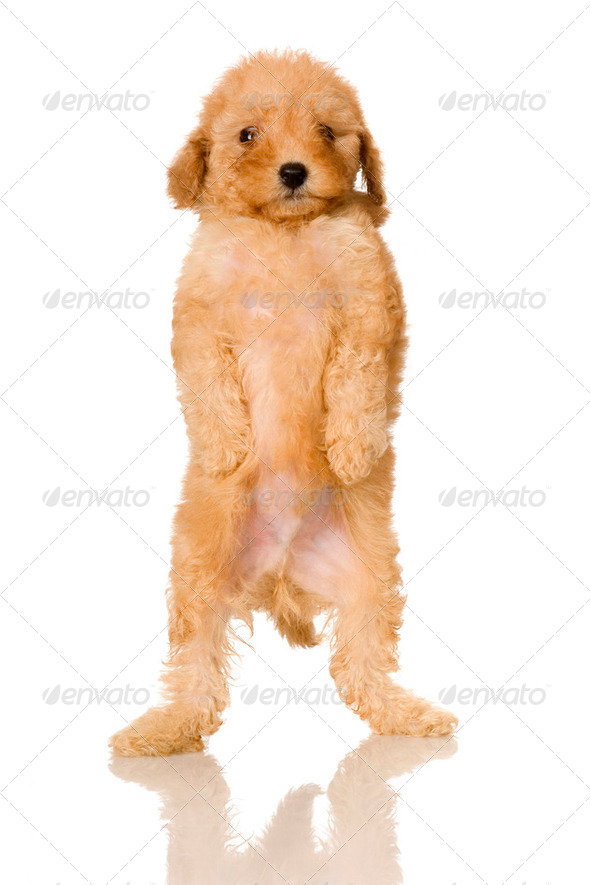 Apricot Poodle puppy - Stock Photo - Images