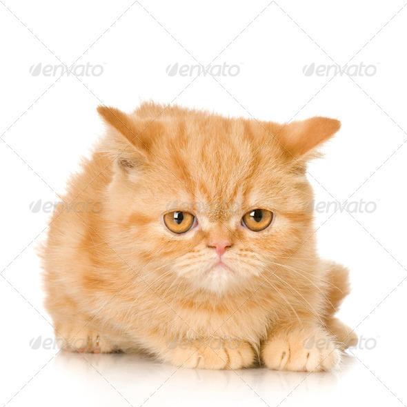 Ginger persian Cat kitten - Stock Photo - Images