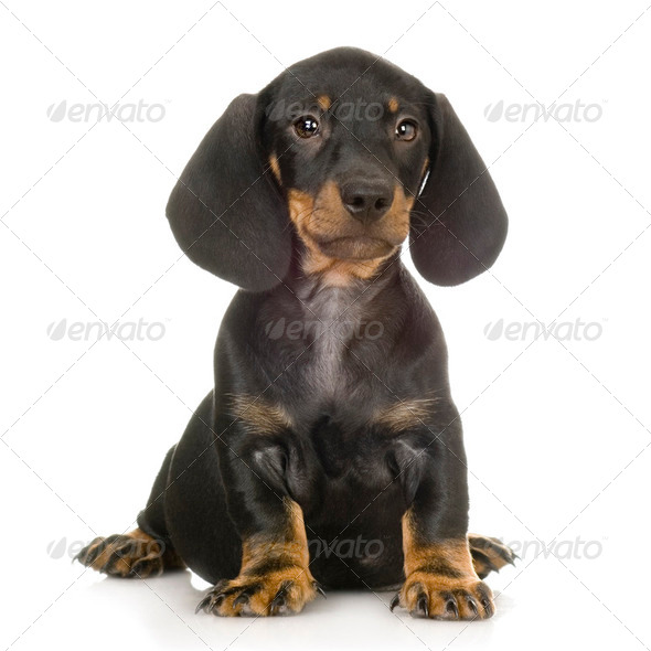 Dachshund - Stock Photo - Images