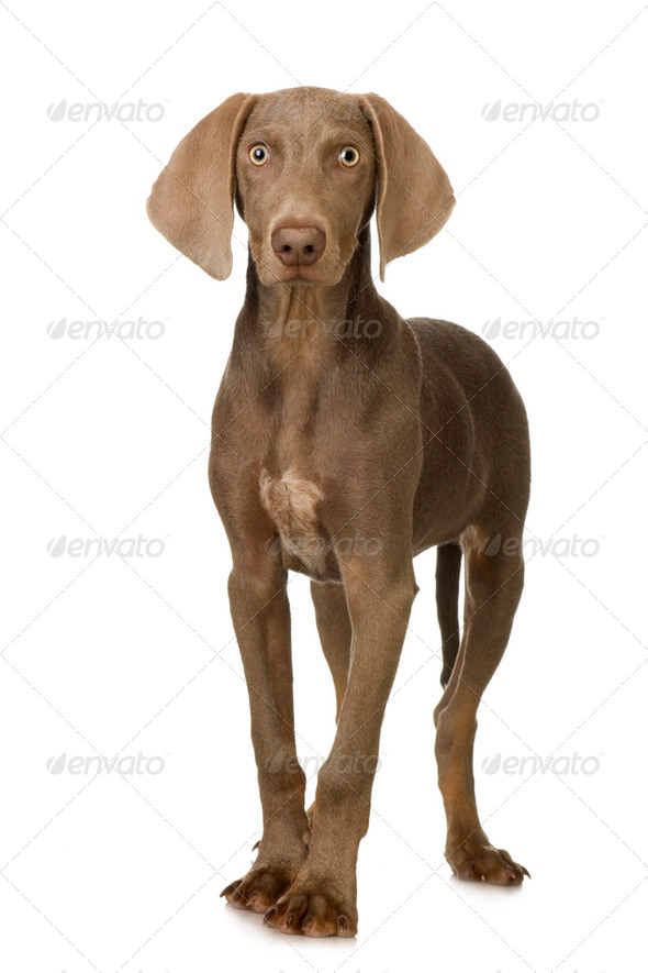 puppy Weimaraner - Stock Photo - Images