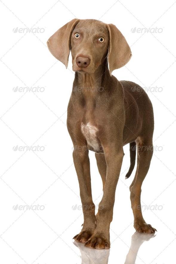 puppy Weimaraner - Stock Photo - Images