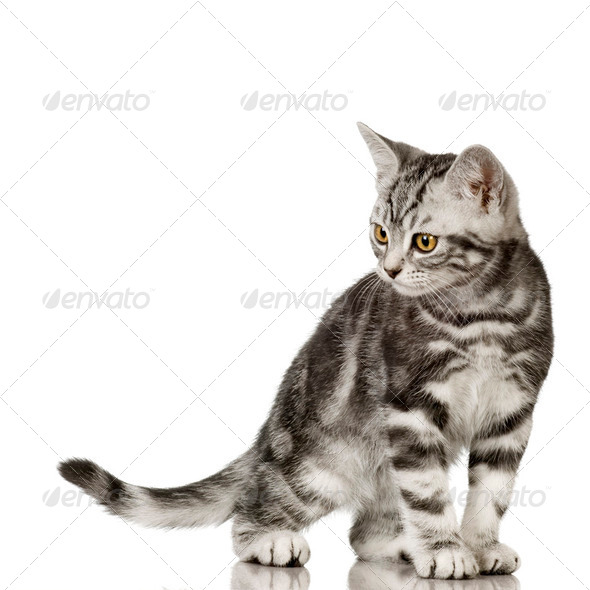 British Shorthair - Stock Photo - Images