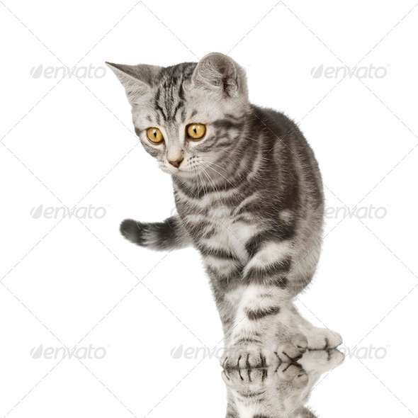 British Shorthair kitten - Stock Photo - Images