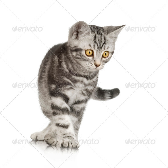 British Shorthair kitten - Stock Photo - Images