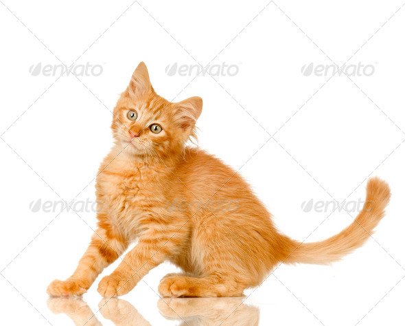 Ginger Cat kitten - Stock Photo - Images
