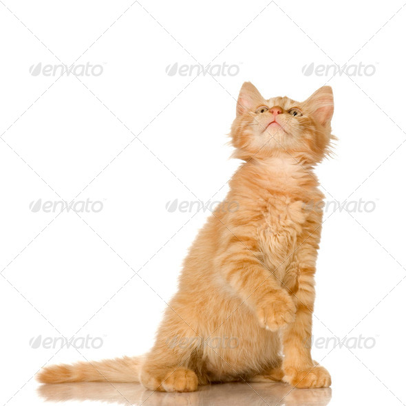 Ginger Cat kitten - Stock Photo - Images