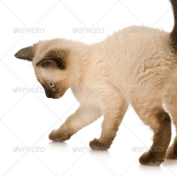 Siamese kitten - Stock Photo - Images