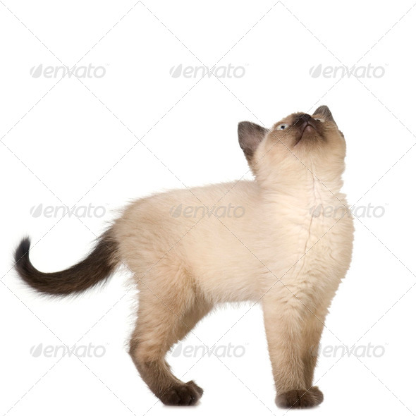 Siamese kitten - Stock Photo - Images