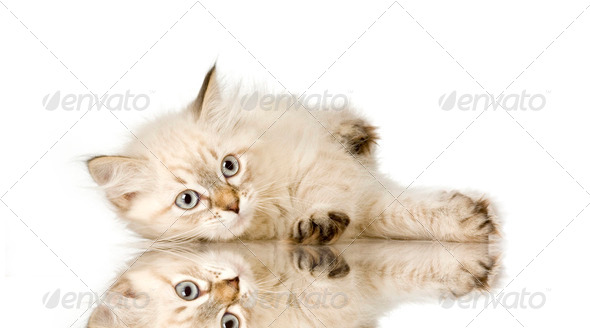 Blu-tabby-point Birman kitten - Stock Photo - Images