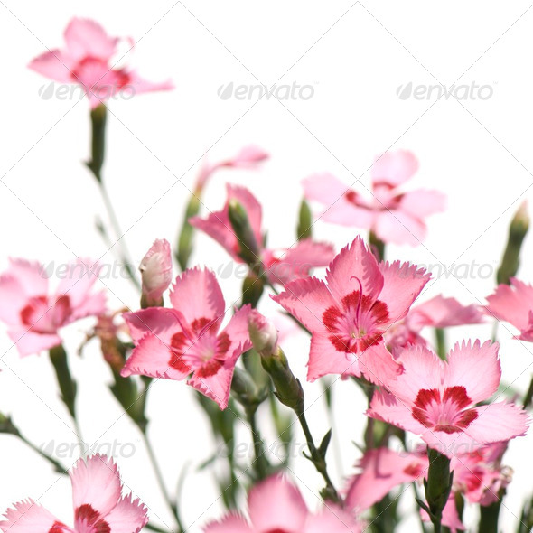 pink Flowers - Stock Photo - Images