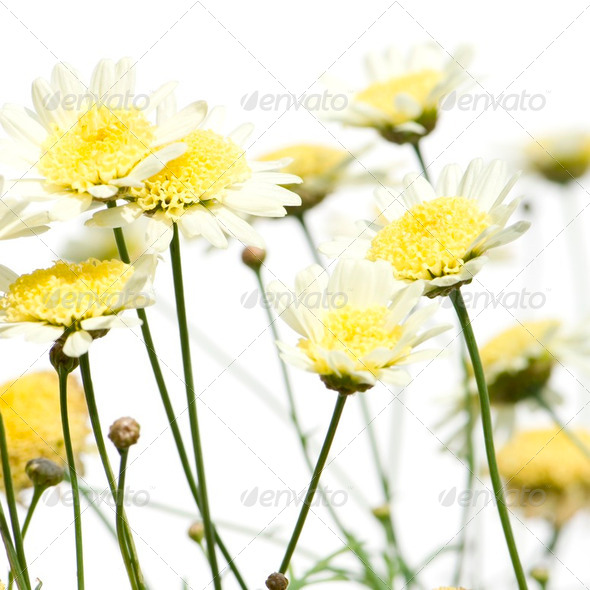Daisies - Stock Photo - Images