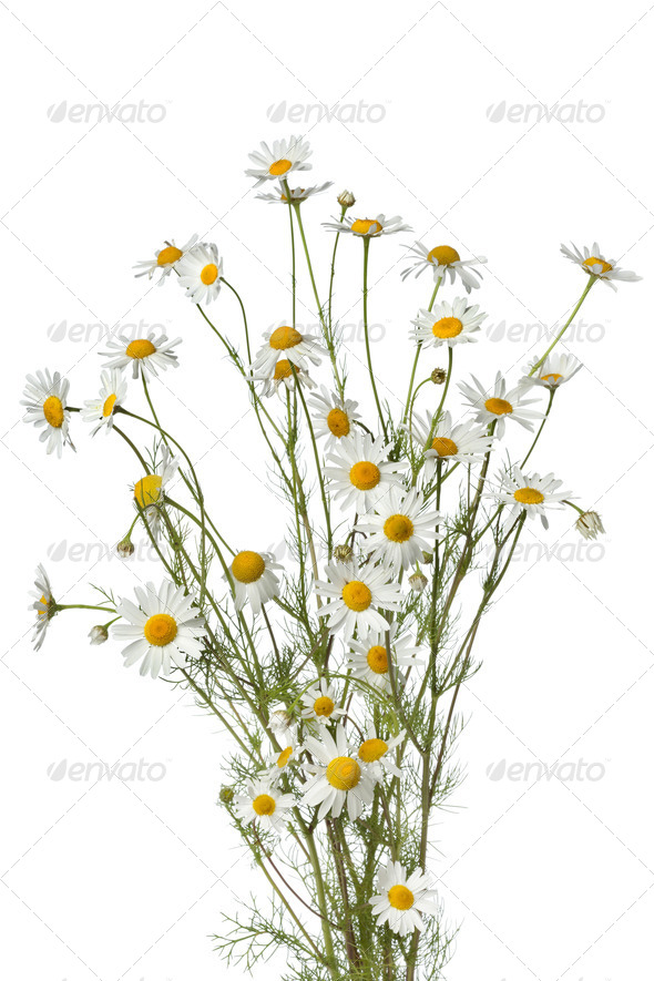 Bouquet of chamomile flowers - Stock Photo - Images