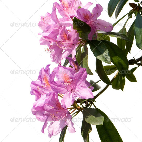 Rhododendron - Stock Photo - Images
