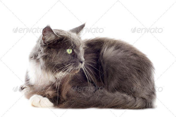 blue maine coon cat - Stock Photo - Images