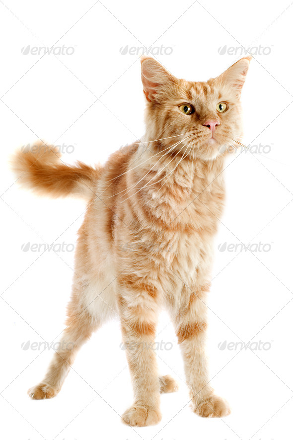 ginger maine coon cat - Stock Photo - Images