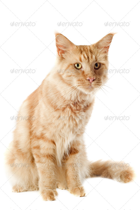 maine coon cat - Stock Photo - Images