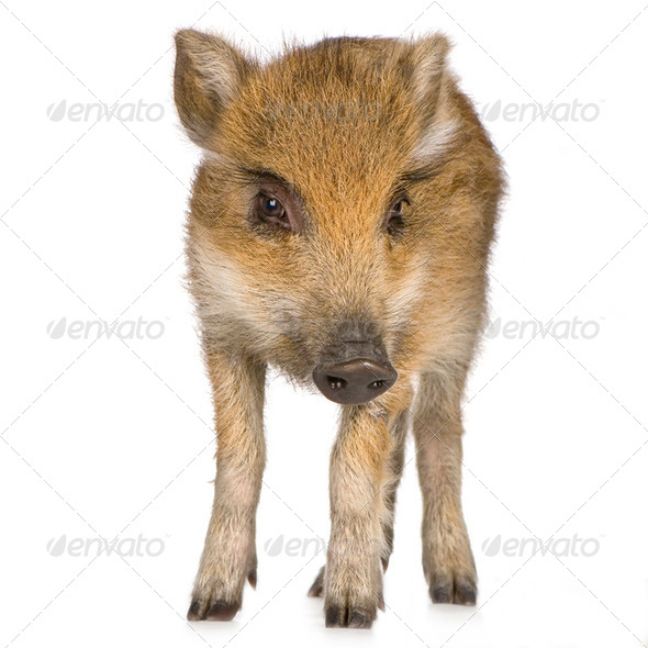 young wild boar ( 7 weeks ) - Stock Photo - Images