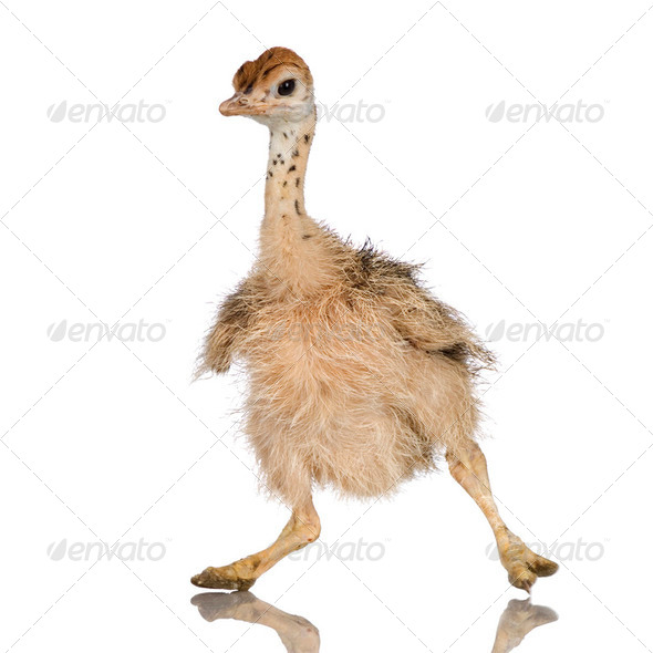 Ostrich Chick - Stock Photo - Images