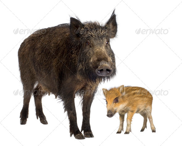 wild boar and her young wild boar - Stock Photo - Images