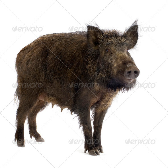 wild boar - Stock Photo - Images